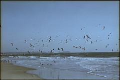 637 (konophotography) Tags: konophotography konophoto film filmisnotdead filmphotography analog analogue 35mm nature buyfilmnotmegapixels ishootfilm india sea birds 2017