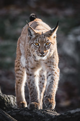 Step by step (Soren Wolf) Tags: lynx lynxes looking eye close up short depth off field dof bokeh yellow zoo nikon d7200 300mm opole watching watch camera cat big closup animal animals