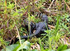 John Chestnut Park (cathy.scola) Tags: johnchestnutpark palmharbor florida gator alligator