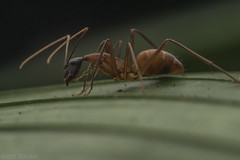 carpenter ant (Camponotus atriceps) (antonsrkn) Tags: carpenterant camponotusatriceps myrmecology nature ant insect bug macro closeup peru losamigos jungle rainforest biodiversity