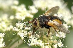 Igelfliege (Tachina fera) (uwe125) Tags: tier insekt fliege raupenfliege hässlich blüte insect fly marvels macro macromarvels