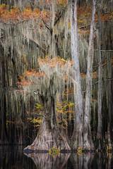 Graceful (James Duckworth) Tags: caddolake jamesduckworthphotography texas baldcypress cypress fineartphotography landscape swamp trees water