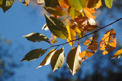 IMGP0471 (grun.berger) Tags: jesien jesiennafotografia jesiennebarwy jesiennyklimat daryjesieni wood forest tree nature landscape fall season birch outdoors park jesień autumn zielonagóra zgora zielonagora sun scene scenic