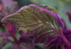 Purple Passion (ACEZandEIGHTZ) Tags: nikon d3200 leaf purple velvet gynura aurantiaca passion plant macro closeup coth coth5 sunrays5