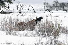 Moose in the willows (V.C. Wald) Tags: tamronsp150600f563divcusdg2 yellowstonenationalpark yellowstoneinwinter alcesalces bullmoose roundprairie
