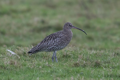 Curlew (The Treerunner) Tags: beachroad curlew
