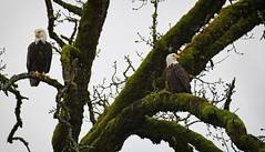 covering all areas - Bald Eagles (foto tuerco) Tags: bald eagles perched watching oregon