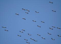 Cigognes blanches (Marc ALMECIJA) Tags: sony rx10m3 cigogne blanche storke withe ciguena outdoor outside wildlife nature natur tarifa espagne andalousie gibraltar estrecho détroit