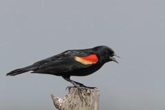 Red-winged Blackbird (Alan Gutsell) Tags: redwingedblackbird red winged blackbird katyprairie katy prairie texas birdsoftexas bird nature wildlife photo canon