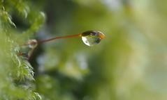 (skloi) Tags: drop droplet tropfen moos moss green grün wood forest macro frozen ice eis