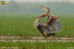 Purple Heron!!(_EJ1C0191) (Anupam Dash Photography) Tags: anupam anupamdashphotography anupamdash avian adult aplusphoto beauty bird birdwatching birds birding birdsinflight birdsofindia purpleheron canon camera colors canon500mmf4 color clouds canon1dmarkiv colourartaward nature naturesfinest naturephotography north northamericanbirds wildlife wild wildlifephotographer water workshop indian india is indianbirds birdsofodisha