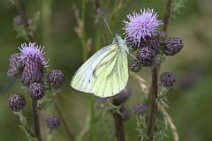 Kohlweißling auf Distelblüte - Cabbage white on thistle blossom (heinrich.hehl) Tags: natur fauna schmetterling kohlweisling dist blüten