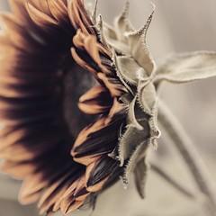 Sunflower. 🌻 (diannerobbins1) Tags: mzuiko mzuiko25mm olympus olympuscamera summer flower sunflower sunflowers