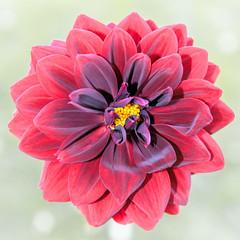 Dahlia (Jez22) Tags: dahlia flower petals flora floral copyright jeremysage red color colour