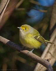 A Rare Winter Visitor (Doug Scobel) Tags: whiteeyed vireo griseus winter wild bird wildlife nature birdperfect rare visitor