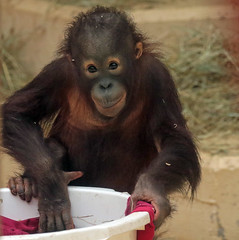 orangutan Sabbar Ouwehands 094A0103 (j.a.kok) Tags: orangutan orang orangoetan animal aap ape asia azie mammal monkey mensaap primate primaat zoogdier dier sabbar ouwehands