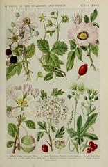 n216_w1150 (BioDivLibrary) Tags: floras greatbritain plants wildflowers newyorkbotanicalgardenluesthertmertzlibrary bhl:page=11453133 dc:identifier=httpsbiodiversitylibraryorgpage11453133 bramble rubisrusticanusmerc barrenstrawberry potentillasterilisgarcke dogrose rosacaninal crabapple pyrusmalusl hawthorn cratagus cratagusoxyancanthal bryony bryoniadioicajacq
