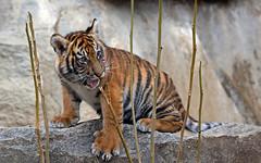 trying out vegetarian food (AvesAg) Tags: tierpark tierparkberlin berlin zoo tiger sumatrantiger sumatratiger cat carnivore endangered katze raubkatze pantheratigrissumatrae cub tigercub canon eos r eosr