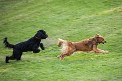 Dog Park (Thomas Hawk) Tags: america seattle usa unitedstates unitedstatesofamerica washington washingtonstate dog fav10 fav25