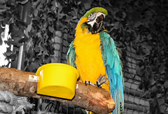 Macaw (John Campbell 2016) Tags: macawparrot macaw parrot colourful colourfulbird beautiful birdsofflickr colourpop colourpopcult colourpopedit colourpopeverything colourpopworld fivesisterszoo canon1300d canon canoncamera camera photography