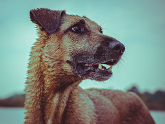 Play time (kisicekpatrik) Tags: play dog animal playful bblue orange ears eyes nose teeth fur fun happy hair movie photo