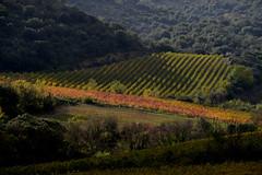 Vignes d'automne en Languedoc (Michel Seguret Thanks for 12,9 M views !!!) Tags: france herault languedoc occitanie michelseguret nikon d800 pro automne autumn fall herbst
