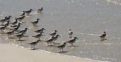 Ocean dip (afagen) Tags: california pacificgrove montereypeninsula asilomar beach pacificocean ocean asilomarstatemarinereserve bird