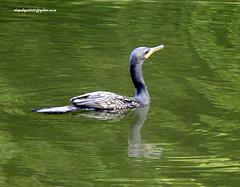 DSCN5677 Indian Cormorant or Shag (Phalacrocorax fuscicollis) (vlupadya) Tags: greatnature animal bird aves fauna indianbirds indian cormorant shag phalacrocorax kundapura karnataka