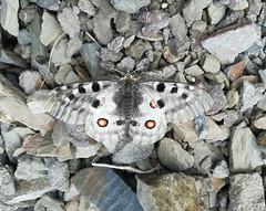 Apollon - Parnassius apollo (Yann Brilland) Tags: faune animal invertébrés insectes papillons lépidoptères rhopalocères apollon parnassiusapollo
