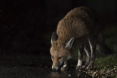 Urban foxes (Thomas Winstone) Tags: england unitedkingdom gb urbanwildlife urbanfox fox canonuk canon 300mm28mk2 mammal mammals canon1dxmark2 uk outdoor urban wild wildlife nature 3lt my3leggedthing thomaswinstonephotography bbc springwatch bbcspringwatch nationalgeographic vulpesvulpes