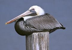 Pelican bird  Hampton Va. (watts_photos) Tags: pelican bird hampton va nature wild phoebus pier birds pelicans wildlife gray white beak virginia coast coastal
