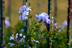 Hydrangea on wraught iron (yusuf.ronco) Tags: canon canont2i canondslr canonrebel hydrangea flowers macro macroflowers bokeh bokehbliss 135mm 135mmf28 neworleans nola bigeasy