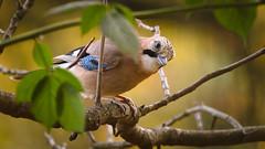 Jay (hedera.baltica) Tags: jay eurasianjay sójka sójkazwyczajna garrulusglandarius