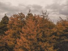 Tree Line (Elliot Hyndman Photography) Tags: dji djimavicair mavic mavicair djimavic drone droneography tandlehills aerial northwest manchester mcruk oldham royton oldhamedge forrest woodland autumn autumnal winter fall orange