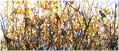 Trying to be invisible (MaxUndFriedel) Tags: nature shrub leaves sparrows sky autumn fall november