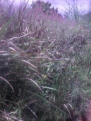 touffe herbe sèche (semowilson) Tags: herbe nature environnement ecologie ecology vegetation vegetaux biodiversite biodiversity biologie brousse biology