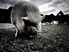 Slovakia (maryduniants) Tags: pig animals village slovakia