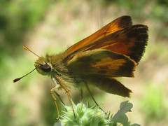 Poanes taxiles (Taxiles skipper), male (tigerbeatlefreak) Tags: poanes taxiles skipper insect butterfly lepidoptera hesperiidae nebraska