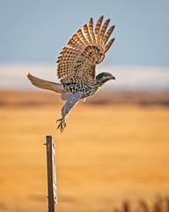 Olympic Form (lennycarl08) Tags: lowerklamathnwr raptor birdofprey birds hawk