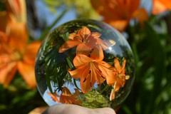 Crystal Ball Refraction (Seventh Heaven Photography - (Flora)) Tags: orange lilies flower flora crystal ball refraction nikon d3200