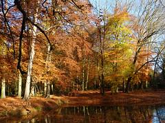 Golden autumn (Cajaflez) Tags: bomen herfstkleuren autumncolors herfst herbst autumn autun reflections reflecties