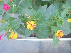 059 (en-ri) Tags: fiori flowers cespuglio bush giallo fuxia sony sonysti