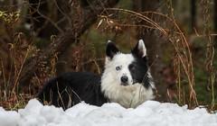 Winter's Here (Rainfire Photography) Tags: bandit petsname bordercollie dog heterochromia winter snow farm burrs portrait splitface adventure nikoncountry