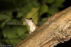 41789 Dark-eared tree frog (Polypedates macrotis) in a tree in an urban garden, Ipoh, Perak, Malaysia. IUCN=Least Concern. (K Fletcher & D Baylis) Tags: wildlife animal fauna amphibian frog treefrog darkearedtreefrog rhacophoridae polypedatesmacrotis leastconcern arboreal garden urbangarden ipoh perak malaysia asia october2018