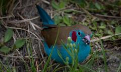 Blue Waxbill (alphonso49uk) Tags: bird bluewaxbill ethiopia