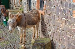 A Clovelly Donkey (C.G.Photos) Tags: devon clovelly england coast donkey animals