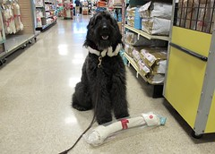 """What do you mean,  I can't have this beautiful rawhide bone?"" (Bennilover) Tags: store shopping dog dogs labradoodle rawhide benni bennigirl christmasshopping cute fun exciting petstore nono"