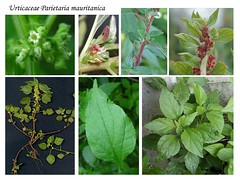 Parietaria Wiki Meanings And Definitions Dictionary