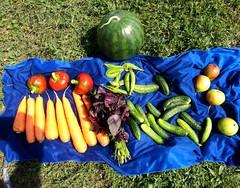 В Лисках возле вокзала превосходный рынок. Практически все овощи и фрукты я купил с огородов местных жителей . Река Икорец оказалась отличным местом не только для купания, но и их помывки.