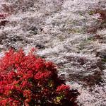 Sakura and Momiji thumbnail
